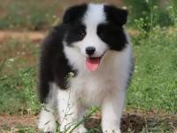 重庆边境牧羊犬宝宝们出售啦,我们邀请你来看看小狗狗