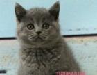 猫舍出售英国短毛猫英短蓝渐层银渐层英短纯白英短蓝猫
