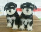 西安出售3个月的雪纳瑞犬(公母均有)包犬瘟细小-签协议