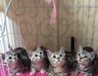 纯种渐层健康 长期出售各种名猫