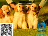 纯种金毛多少钱,哪里有金毛犬,金毛图片,金毛出售
