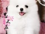 博美犬 深圳正规犬舍直销哈多利球体博美幼犬 纯种健康可签协议