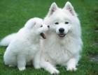 微笑天使 温和友善 漂亮美丽 萨摩耶幼犬实拍