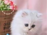家养精品波斯 布偶 金吉拉 蓝猫 英美短品相极佳