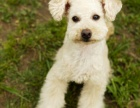 顶级纯种雪纳瑞棉花糖卷毛比熊幼犬 品质保证