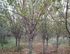 唐山40公分法桐树基地提供多种苗木