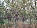 南京30公分皂角树一亩地种植棵