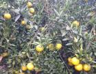 正宗老树新会柑,皮香且质厚,货真价实,特销4元一斤