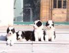 合肥哪里有宠物狗卖七通三白血统纯骨板大边境牧羊犬