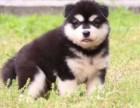 霸气眼神 王者风范 黄金体型 男生的较爱阿拉斯加犬