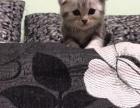 家养美短折耳小猫