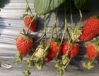 草莓苗价格优惠 好草莓苗批发