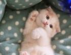 纯种英国短毛苏格兰折耳猫 银色渐层 公猫 幼猫宠物