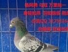 惠州 各类观赏鸽 信鸽 台鸽,现在养的品种有 特别 淑女 大
