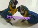 鹦鹉出售,购买鹦鹉,鹦鹉养殖场,长期出售各种大型金刚鹦鹉