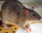 灭鼠 普陀灭鼠 嘉定灭鼠公司 上海专业灭鼠公司