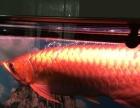 金龙鱼,银龙鱼,鹦鹉鱼,罗汉鱼