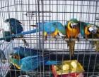 出售手养的蓝黄金刚鹦鹉 五彩金刚鹦鹉 凯克鹦鹉 折衷鹦鹉幼鸟