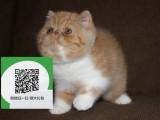 烟台哪里有加菲猫出售 烟台加菲猫价格 烟台宠物猫转让出售