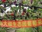 大连特产玫瑰葡萄采摘园十一期间薛大叔生态园优惠啦!