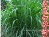 进口特高产 家禽牧草种子批发 皇竹草种子 新型黄竹草种子