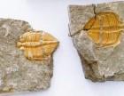 哪家公司高价交易古生物虫卵化石