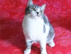 美国短毛猫 虎斑猫 渐层猫 公母猫 男女孩特价