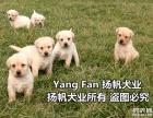 广州什么地方有纯种拉多犬 广东扬帆犬舍