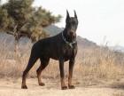 佛山出售纯种健康杜宾犬 护卫犬警卫犬