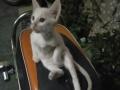 阴阳结合眼全身白猫