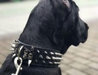 同城转让爱犬 纯种卡斯罗