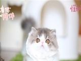 精品加菲猫 猫舍十年繁殖 只做品质 不卖病猫