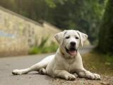 雞西買純種金毛幼犬 疫苗全保健康簽協議可送貨