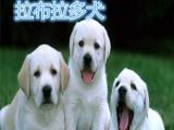 莆田哪里优质拉布拉多犬幼犬活体犬价格聪明场家提供免费发货