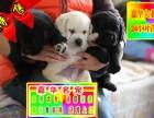 簽訂活體協議 拉布拉多導盲犬 正規狗場 實物拍攝