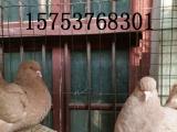德州出售自家养的观赏鸽肉鸽元宝鸽