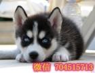 出售高品质净脸哈士奇犬 三把火双蓝眼哈士奇幼犬