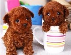 本地繁品精小泰迪一茶杯犬一各色泰迪幼犬一可包三个月