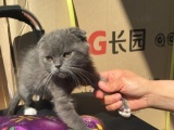 折耳猫加白英短蓝猫