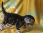 纯种苏格兰折耳短毛小猫和立耳短毛小猫;立耳优惠了