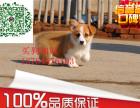 出售威尔士级柯基幼犬品相好健康有保障可签购犬协议