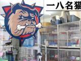 一八名貓 出售布偶英短藍貓美短加菲銀漸層折耳矮腳
