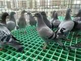 鴿舍地網格珊A北京玻璃鋼地網A昌平鴿舍玻璃鋼地網格珊銷售處