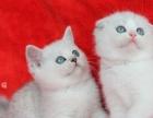 折耳猫 英短 英国短毛猫 起司猫 虎斑猫 银渐层