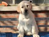 珠海哪里卖纯种拉布拉多幼犬黑色拉布拉多大骨架拉布拉多