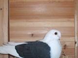 淑女种鸽品种图片