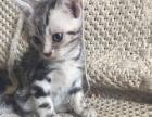 自家育银虎斑美国短毛猫小猫65天新嘛嘛可带回家幸福