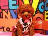 成都寵物繁殖基地長期出售泰迪幼犬 保證品質健康