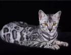 超可爱的豹猫出售疫苗驱虫已做保证纯种健康