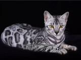 专业猫舍出售孟加拉豹猫超大玫瑰花纹性格超级亲人